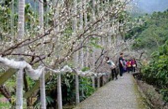 想感受一整片白茫茫的梅花之美嗎?台中新社梅花隧道大滿開快去瞧瞧哦! (圖文為01/16花況)