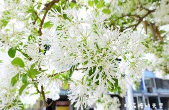 2016 04 08 071019 340x221 - 《台中賞花》大滿開!綠園道上流蘇樹上小小白色花兒開滿滿~快來賞花唷!