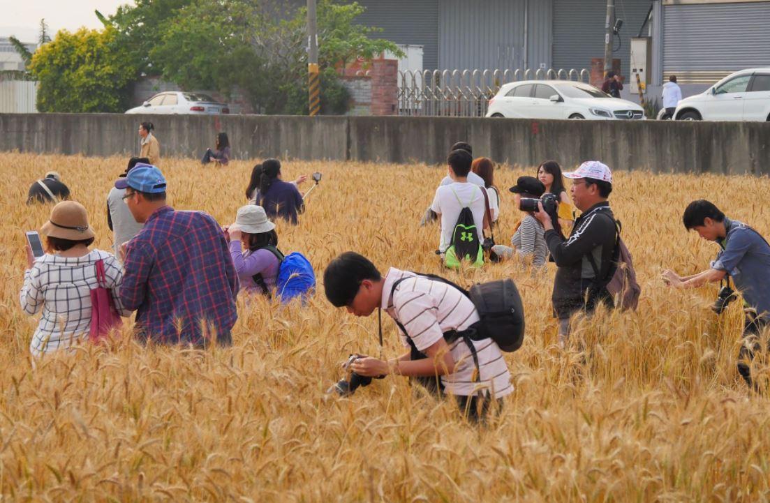 別再踩了│拍照遊客狂踩麥田,農民趕也趕不完