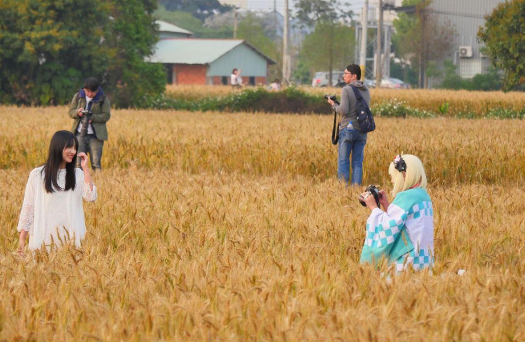 拜託別再踩了│拍照遊客狂踩麥田,農民趕也趕不完